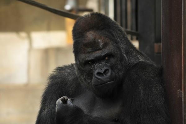 sexy gorilla